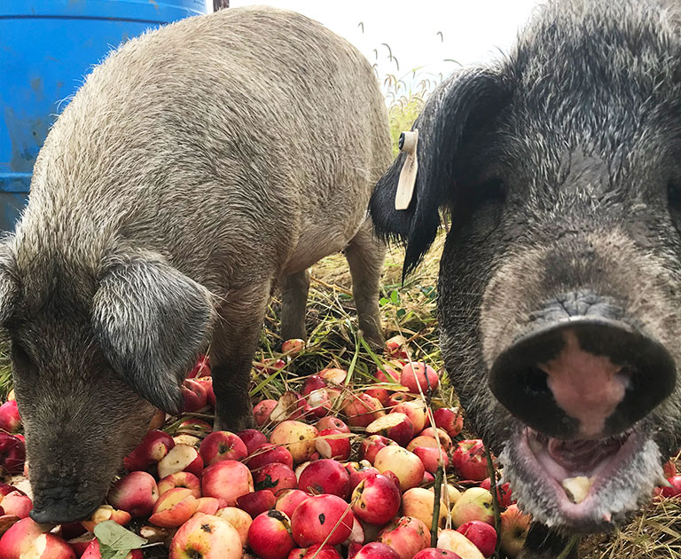 pigs with apples
